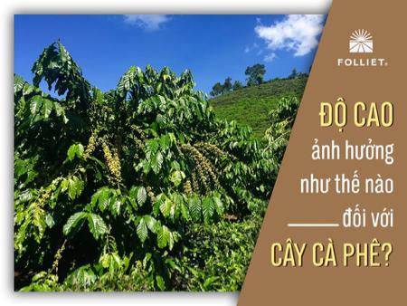 Độ cao ảnh hưởng thế nào đối với cây cà phê?